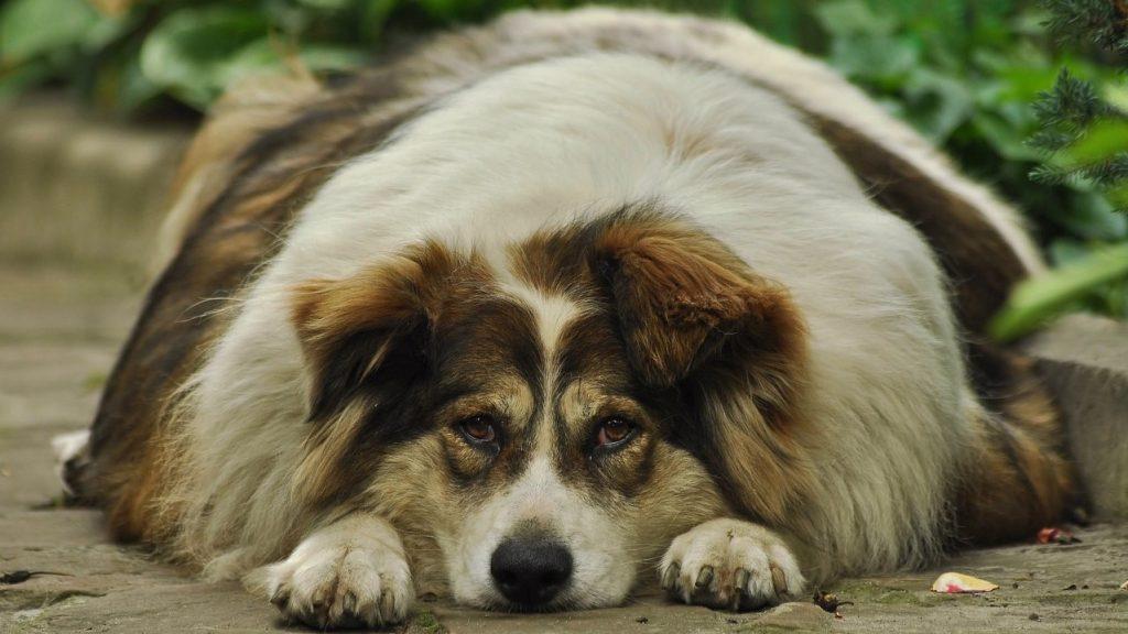 Obesity Statistics - Fat Dog